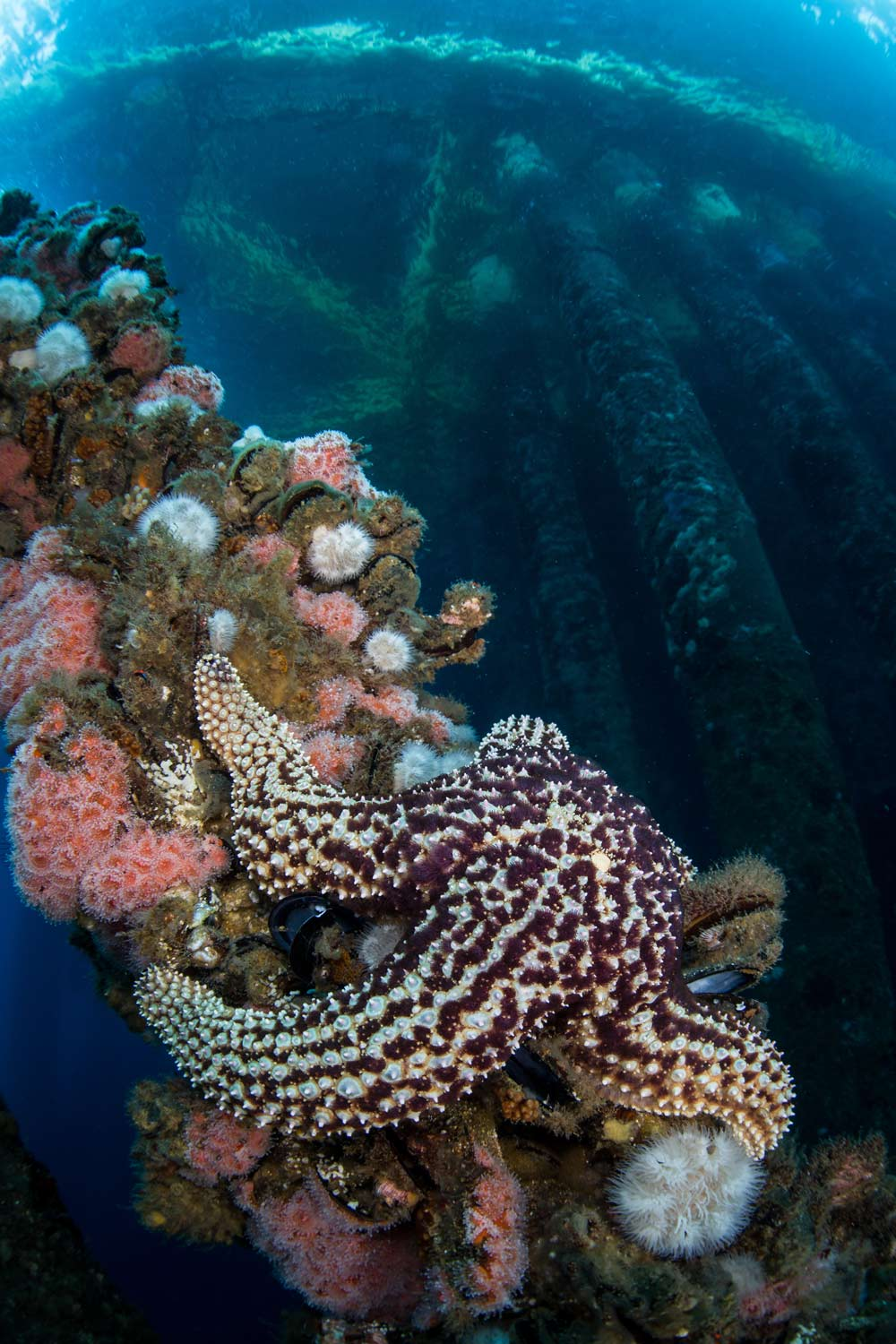 Oil rig understructures make for thriving marine habitats.