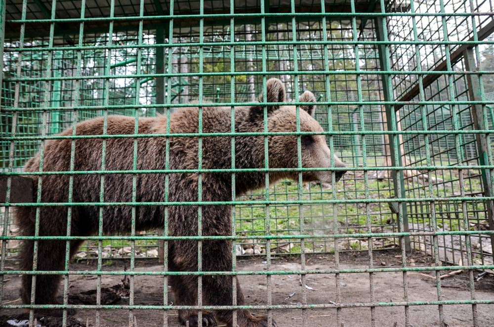 A caged brown bear has little room to run and play.