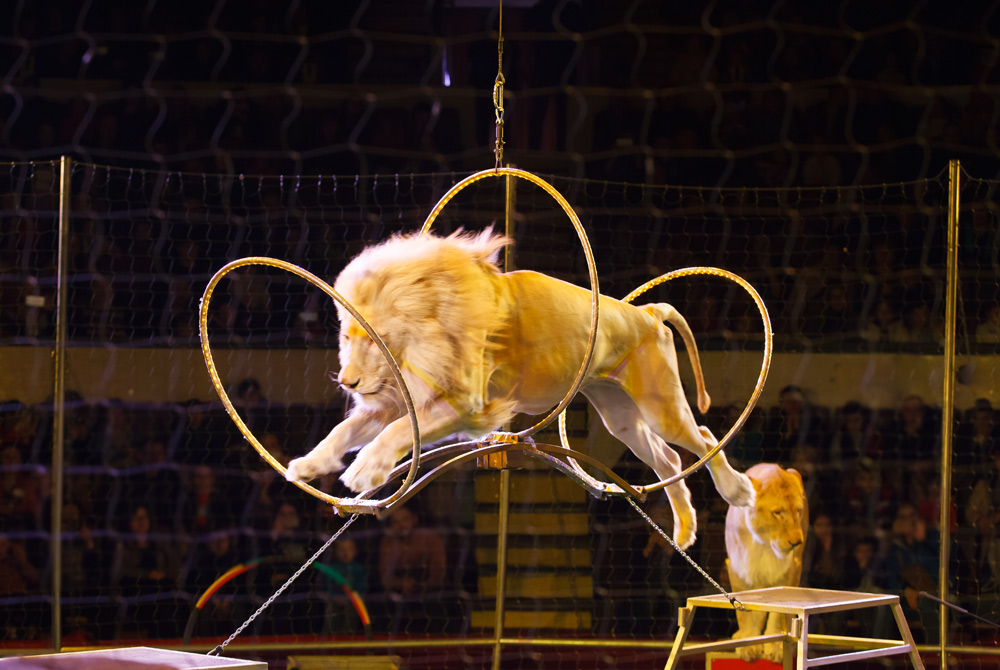 Circus animals are forced to perform multiple days a week.