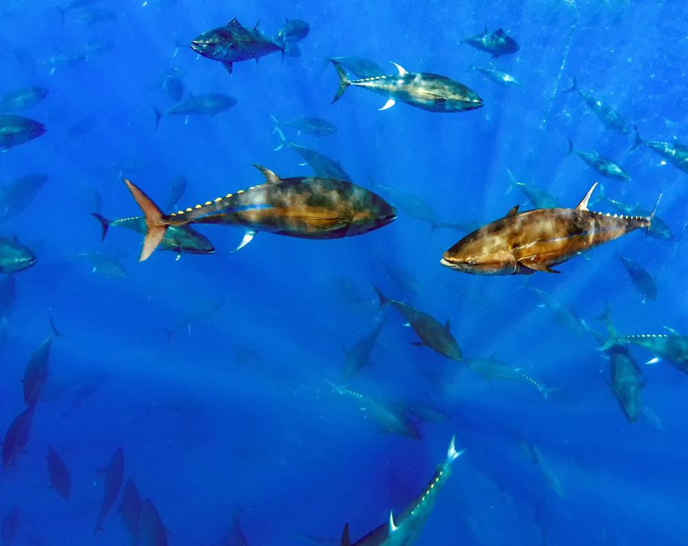Atlantic bluefin tuna may go extinct in the coming years.