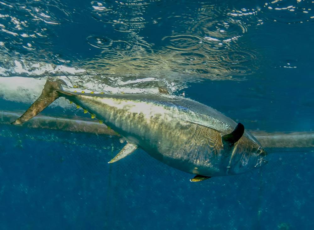 There are only about 41,000 reproductively mature bluefin tuna left in the western Atlantic.