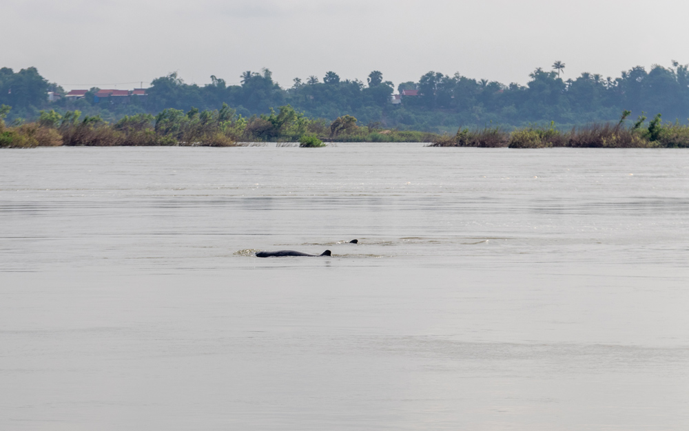 Irrawaddy dolphins are found in the Mekong River between Laos and Cambodia.