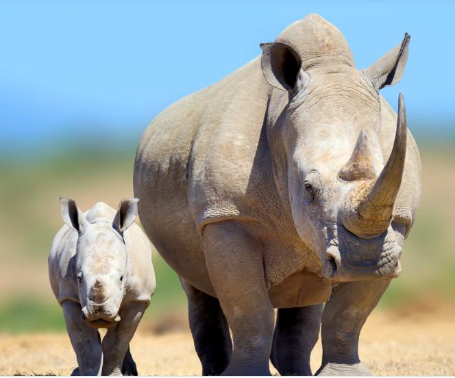 Ban Rhino Trade