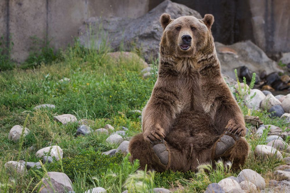 The ESA was effective in protecting the grizzly bear.