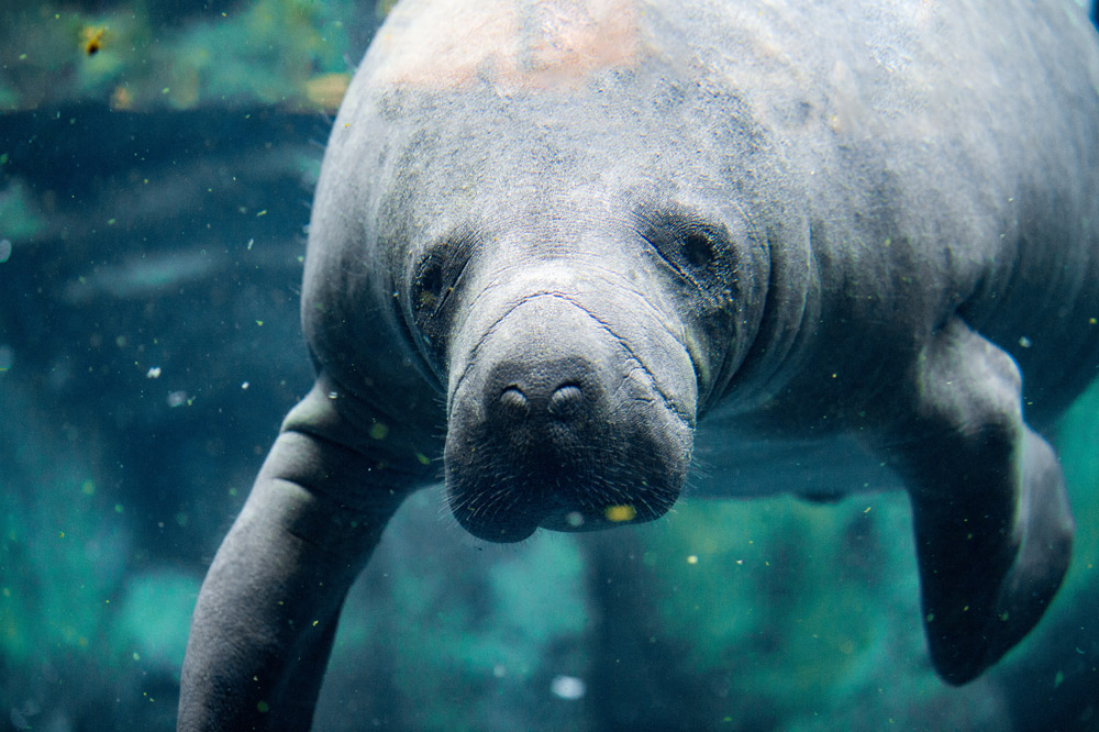 The manatee was saved by protections in the Environmental Species Act.