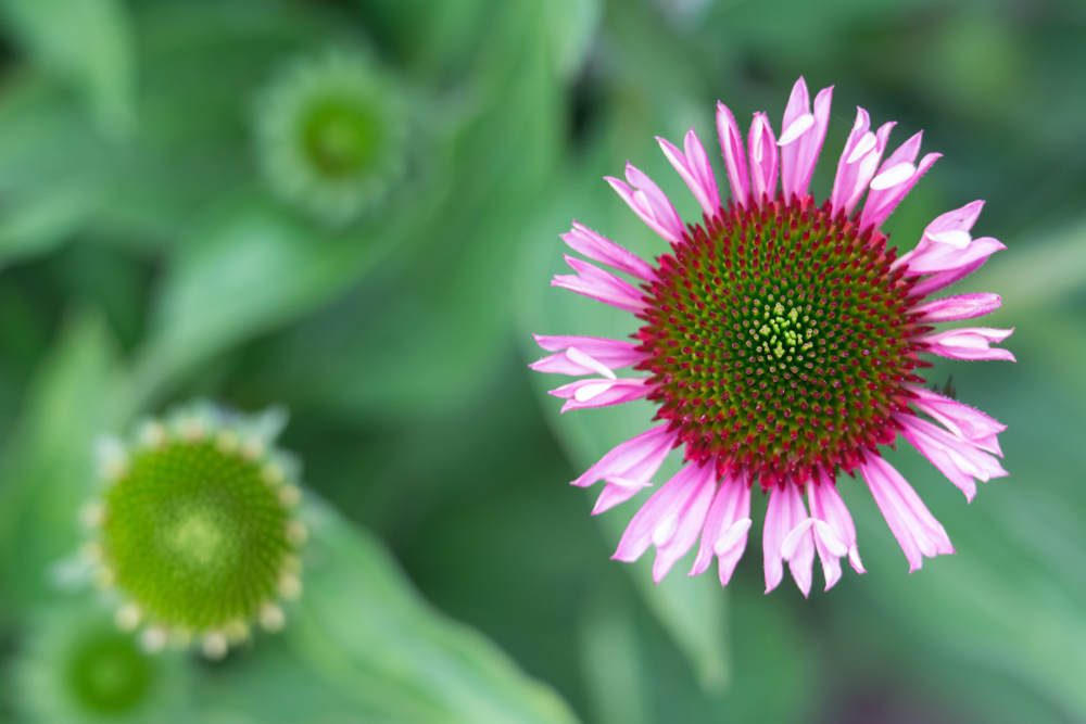 Tennessee Blue Coneflower, once endangered, was protected by the ESA.