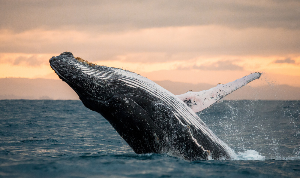 The humpback whale is alive today because of the ESA.