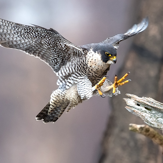 The peregrine falcon is an ESA success story.