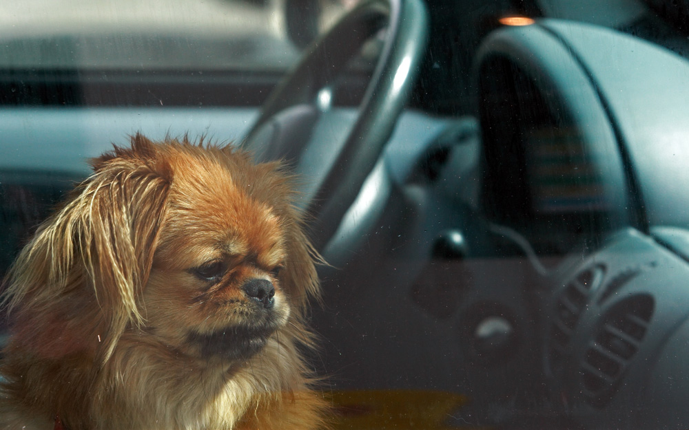 In some states, people can be punished for rescuing dogs from hot cars.