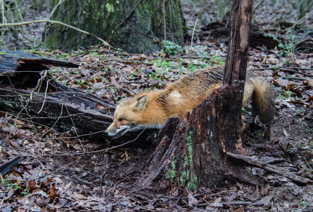 A fox trapped in a foot-hold trap.