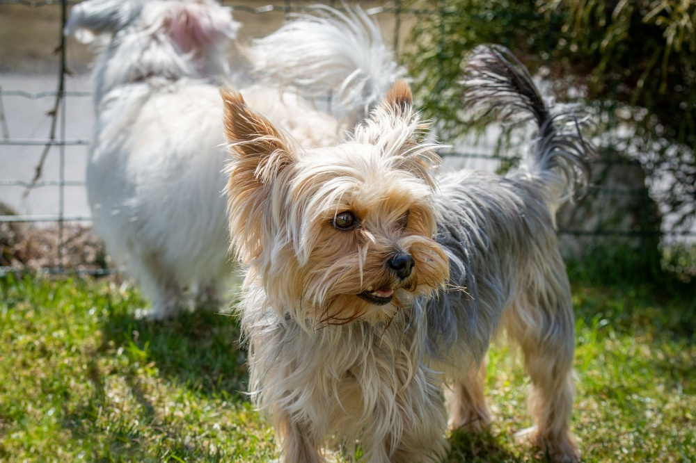 10 Most Frequently Stolen Dog Breeds
