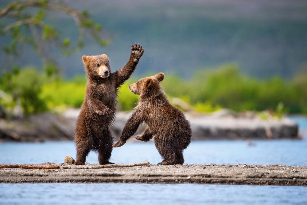 Alaska's predators need your help!