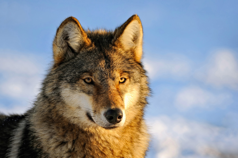 Apex predators are critical to Alaskan ungulate population health.