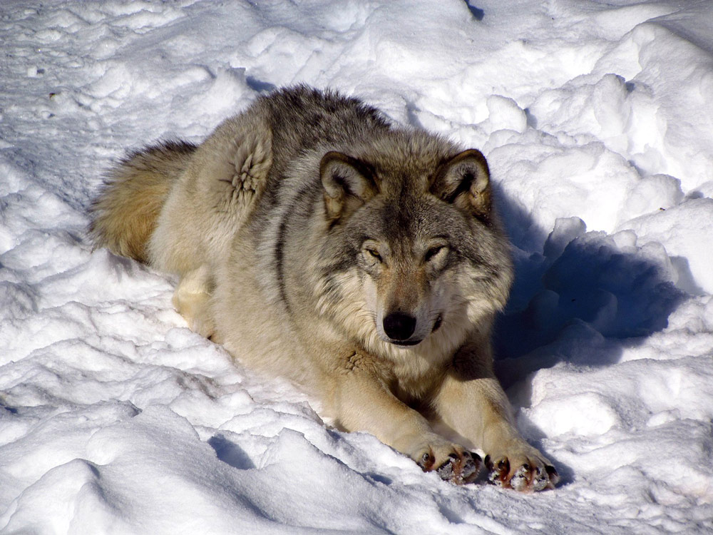 Hunters in Wisconsin killed 178 gray wolves in 72 hours.