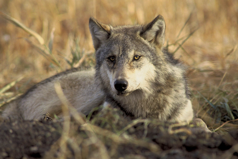 Many conservation groups are calling for the gray wolf to be relisted to the USFWS endangered species list.