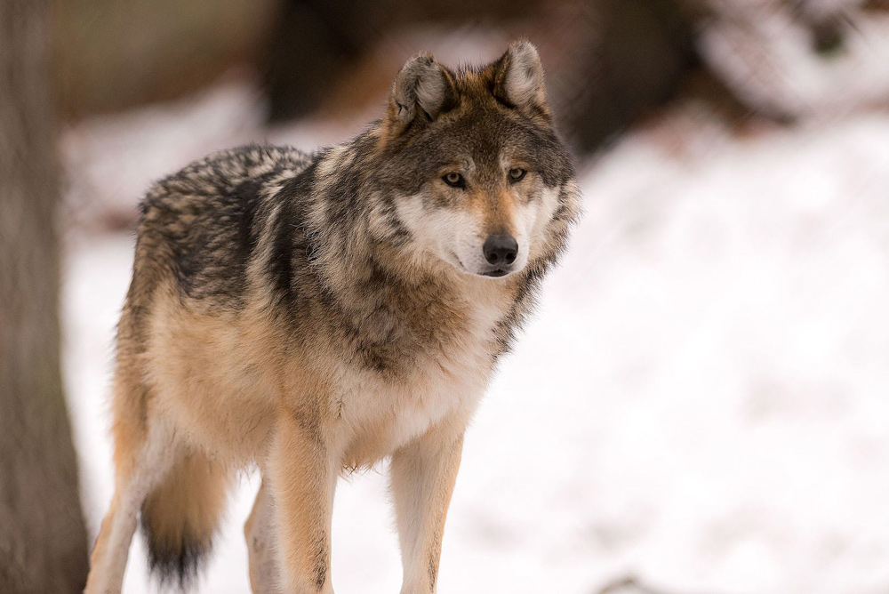 Gray wolves were removed from the USFWS endangered species list in 2021.