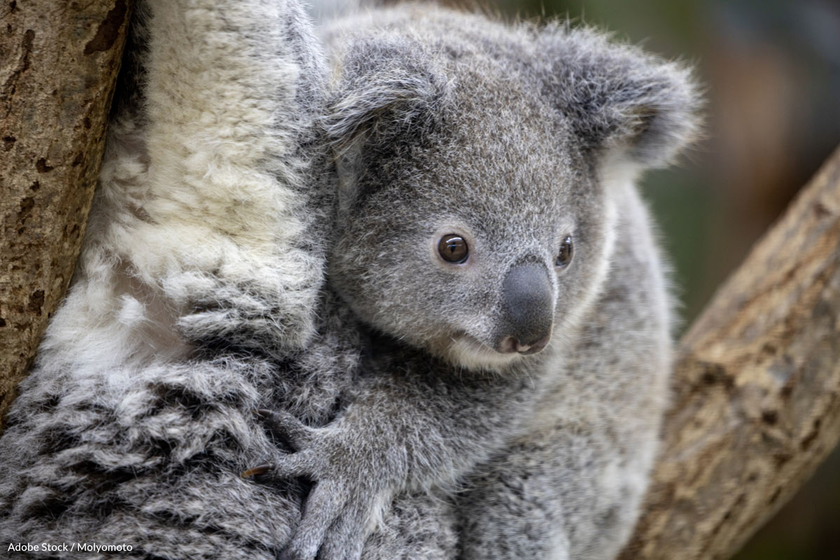 40% of the 1,000 individuals arriving annually in New South Wales and Queensland wildlife hospitals have untreatable late-stage chlamydia and cannot be rehabilitated.