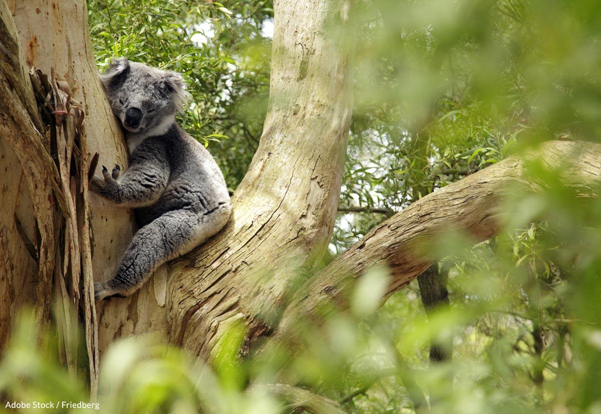 Koalas are today threatened by land development, food degradation, eucalyptus tree loss, drought, dog attacks, andchlamydia.
