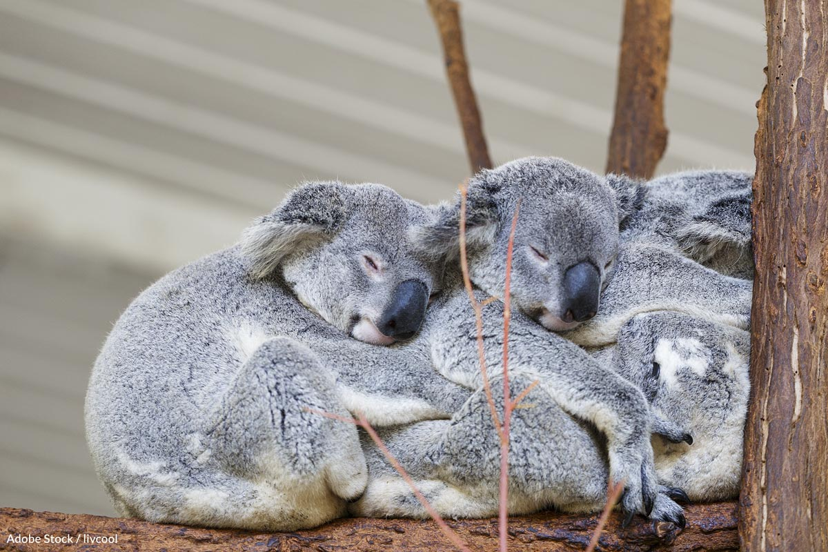 Though chlamydia doesn't directly kill koalas, it renders them infertile means koalas could become extinct in as little as a few decades.