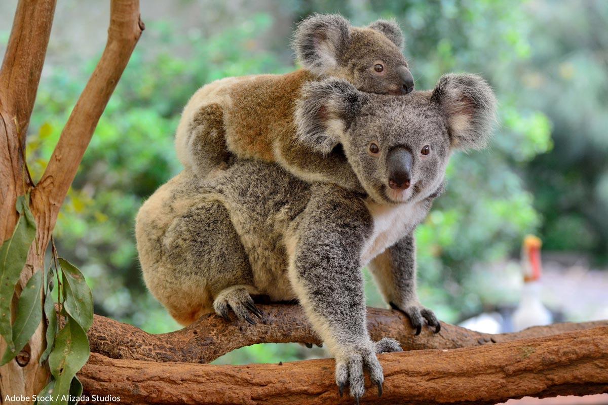 52%of the koalas observed along the Koala Coast showed chlamydia-like symptoms.
