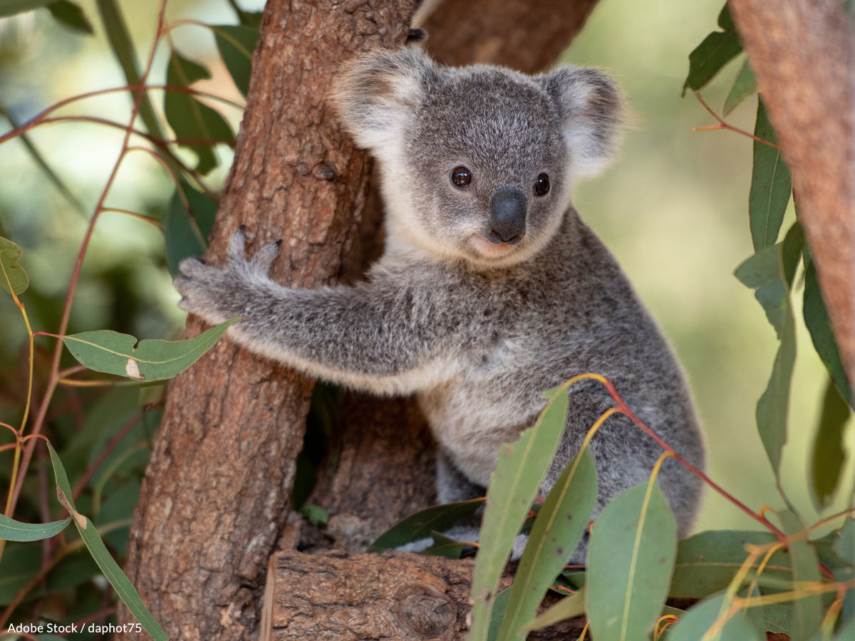 61% of koalas in Victoria's South Gippsland region are carriers of the chlamydia bacteria.