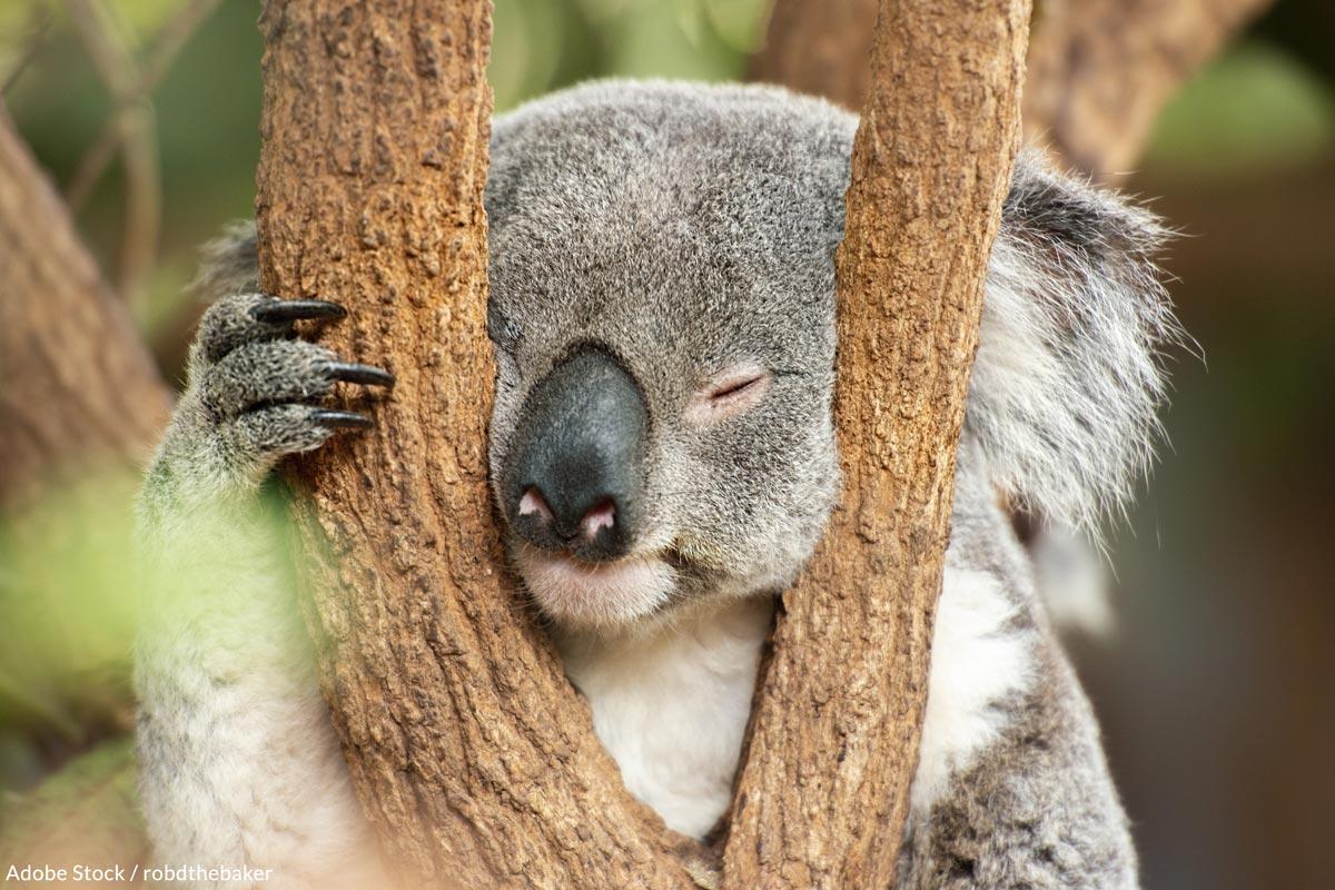 Help us save koalas from extinction.