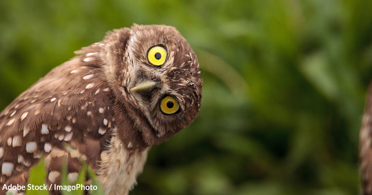 Burrowing Owl populations have decreased by 95% in some regions.