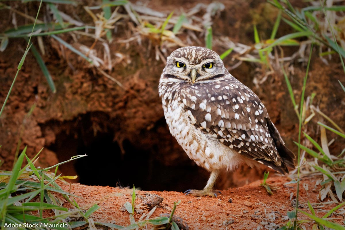 Burrowing Owls make their homes in holes left by prairie dogs.