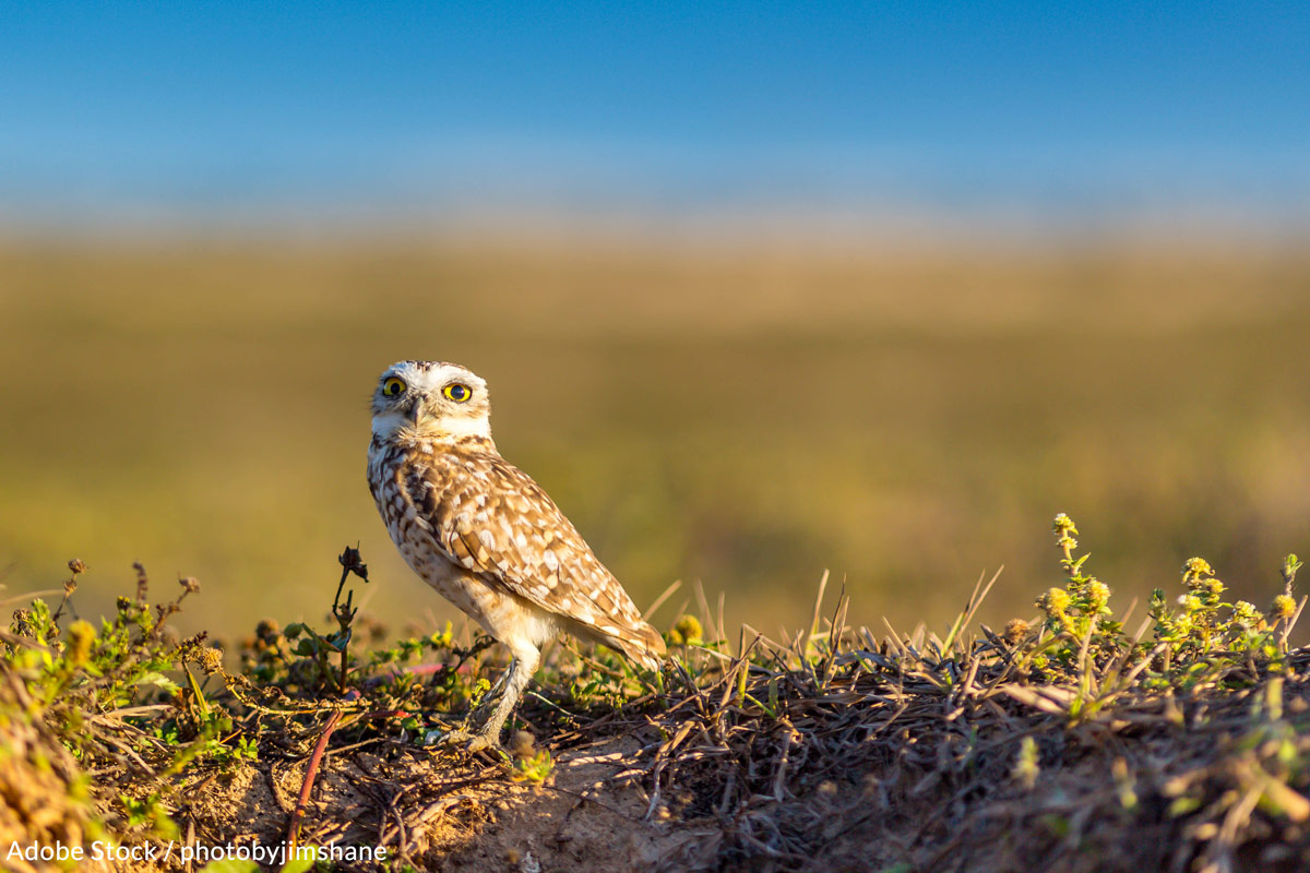 Join The Fight To Save The Adorable Burrowing Owl