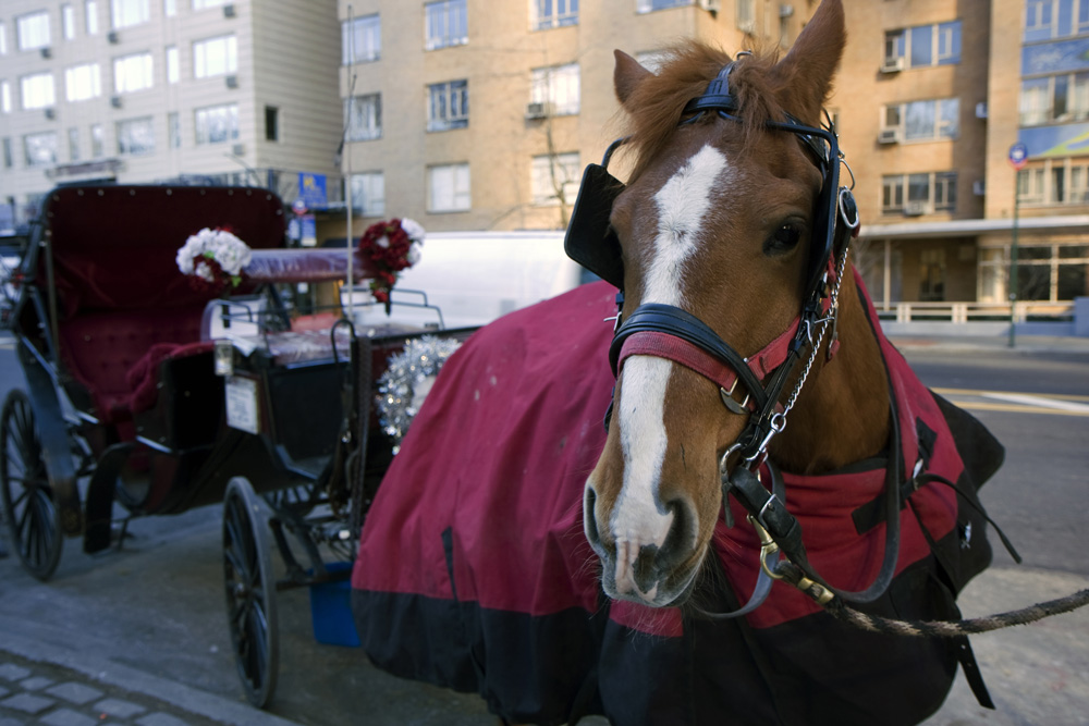 Horses pull carriages in New York City for 9 hours a day, 7 days a week.
