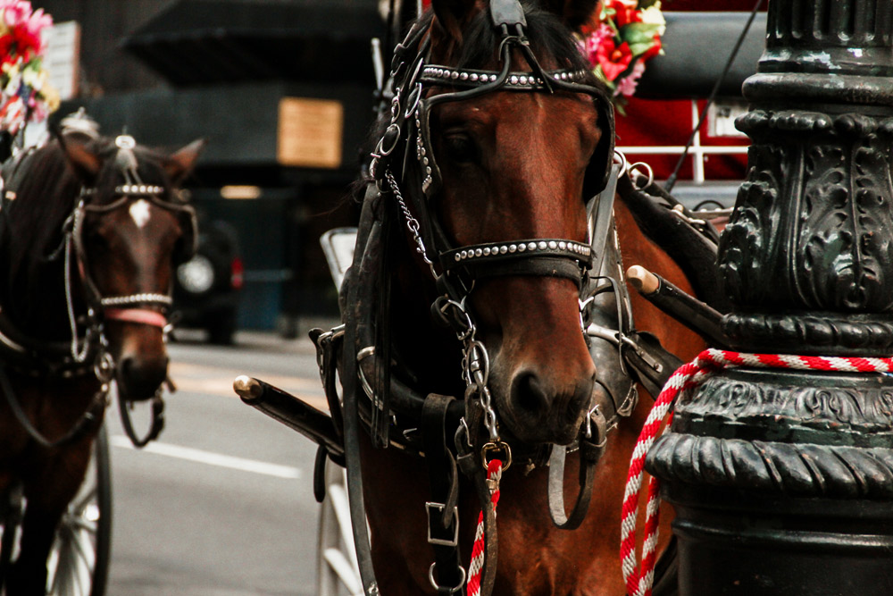 The average working life of a New York City carriage horse is four years.
