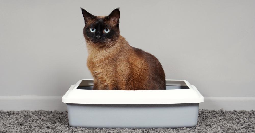 Siamese cat sitting still in a small litter box