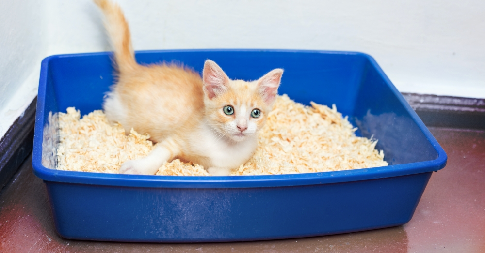 Playful orange kitten lying in litter box, playing with wood shavings as an alternative form of kitty litter