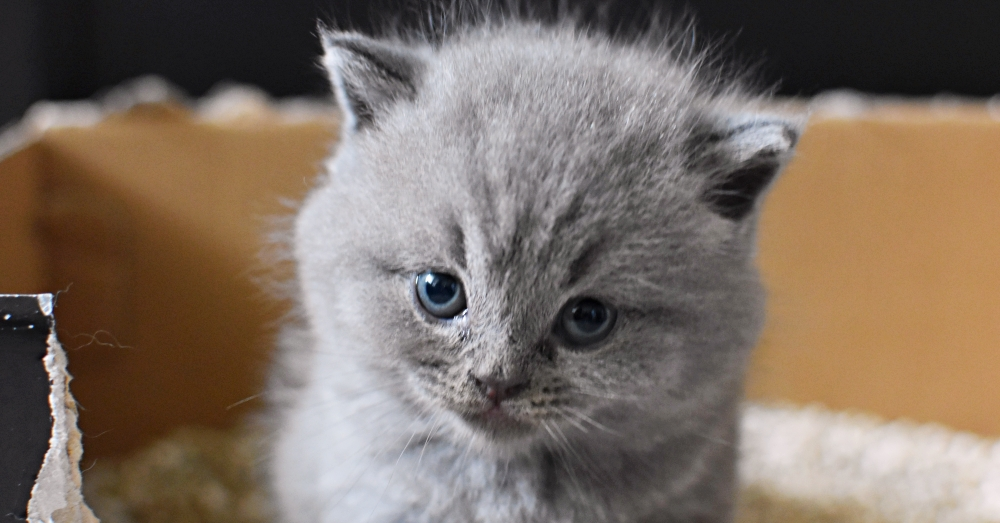 Small gray kitten looks at camera while sitting in homemade cardboard litter box