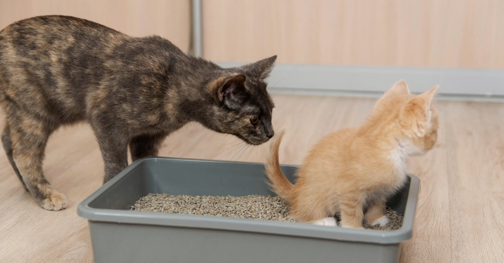 Adult cat sniffs at young kitten who is using the litter box