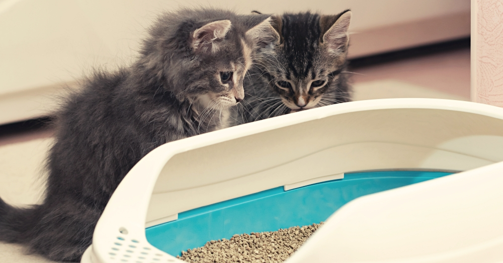 Two gray kittens look curiously over the edge of a litter box