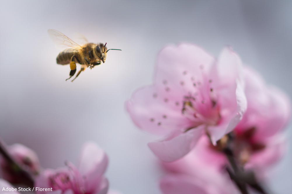 Bee populations have begun to see sharp declines in recent years.