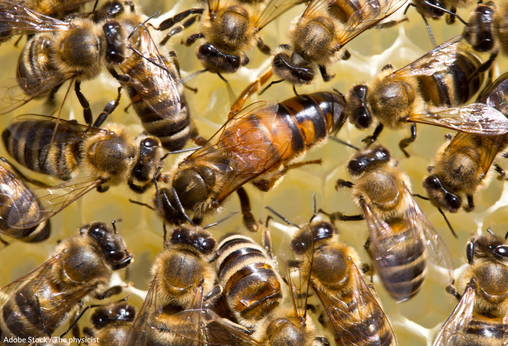 Honeybee populations are in danger because they are ingesting a harmful pesticide called clothianidin.