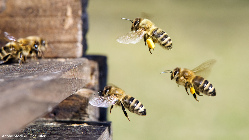 Honeybees are vital to our life on Earth.