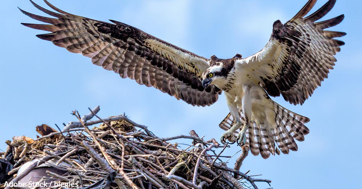 An osprey in flight, approaching its nest.