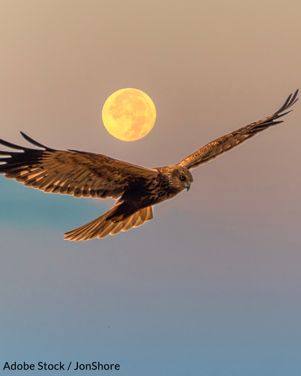 Marsh Harriers stop at Malta in the spring on their return from southern regions.