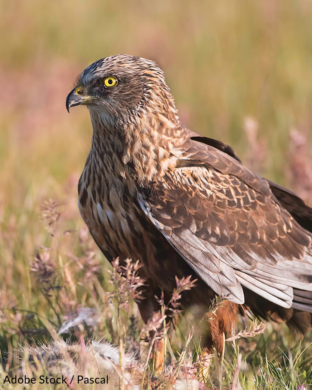 A marsh harrier on the ground looking for food.