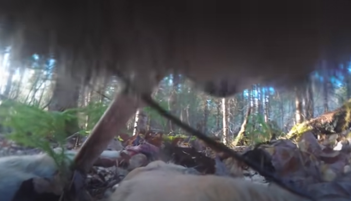 A collar camera helps researchers understand the habits of Minnesota's Northwoods wolves.