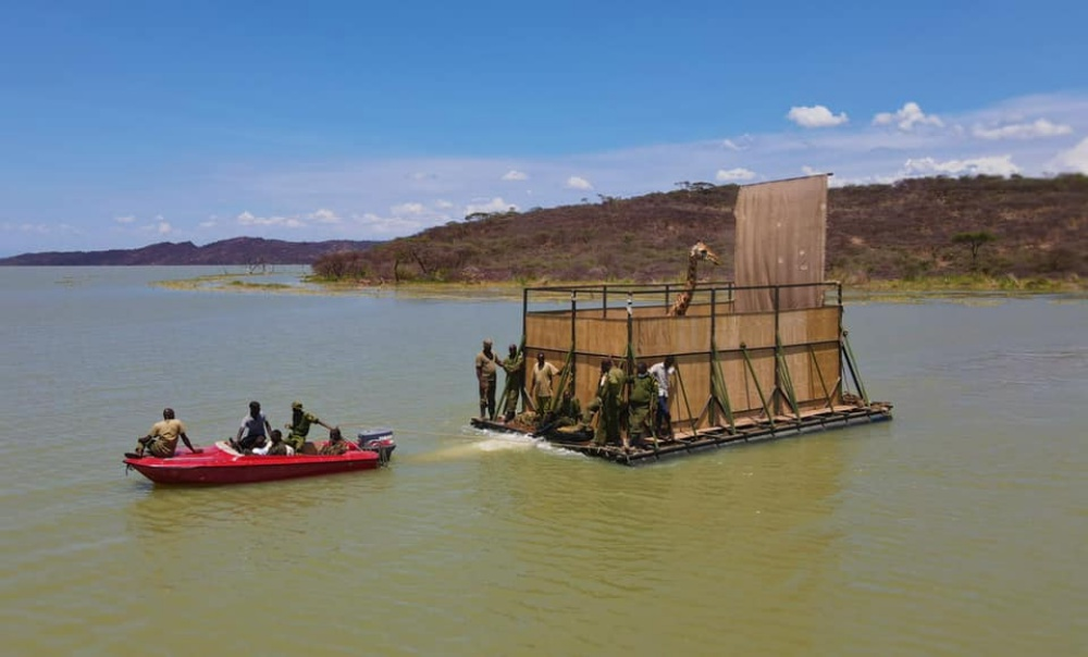 "9 Endangered Giraffes Rescued From Flooded Kenyan Island By Community-Built ""Giraft"""