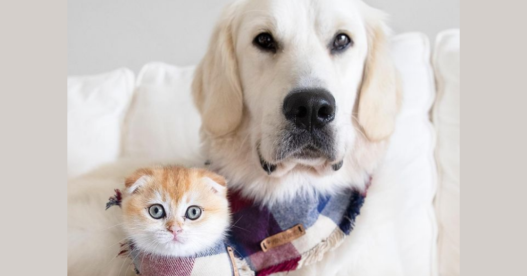 Golden Retriever Becomes Best Friends With A Tiny Cat And The Two Are Inseparable