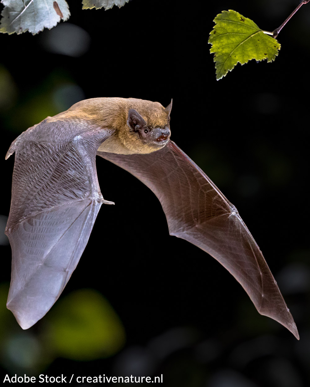 Bats are an essential, beneficial part of our ecosystem.