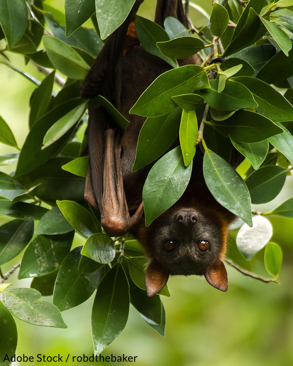 Why The Disappearance Of North American Bats Could Mean Disaster For Humans