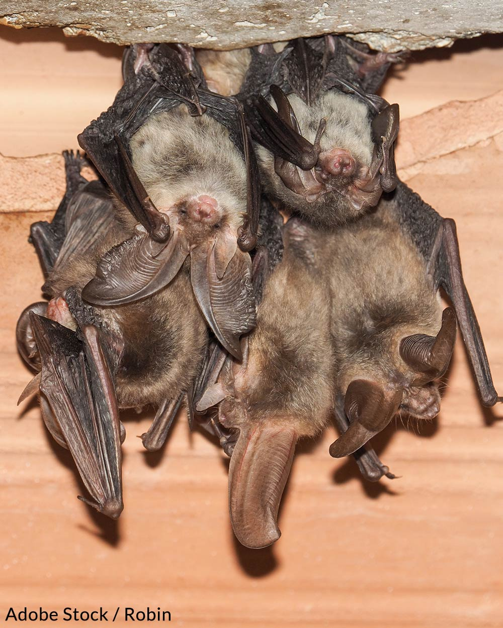 Bats with WNS develop white fuzzy fungal growthon their muzzles and wings during hibernation