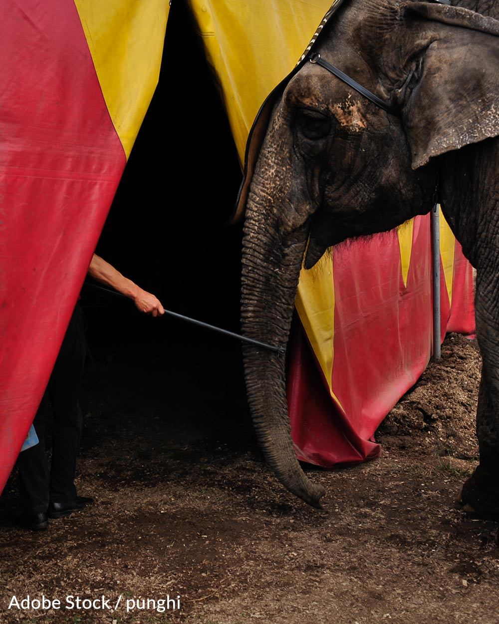 The Association of Zoos and Aquariums in 2019 voted to prohibit the use of bullhooks in elephant care and training.