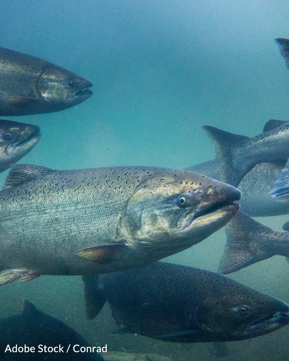 Genetically engineered salmon have been grown in the U.S. and Canada.